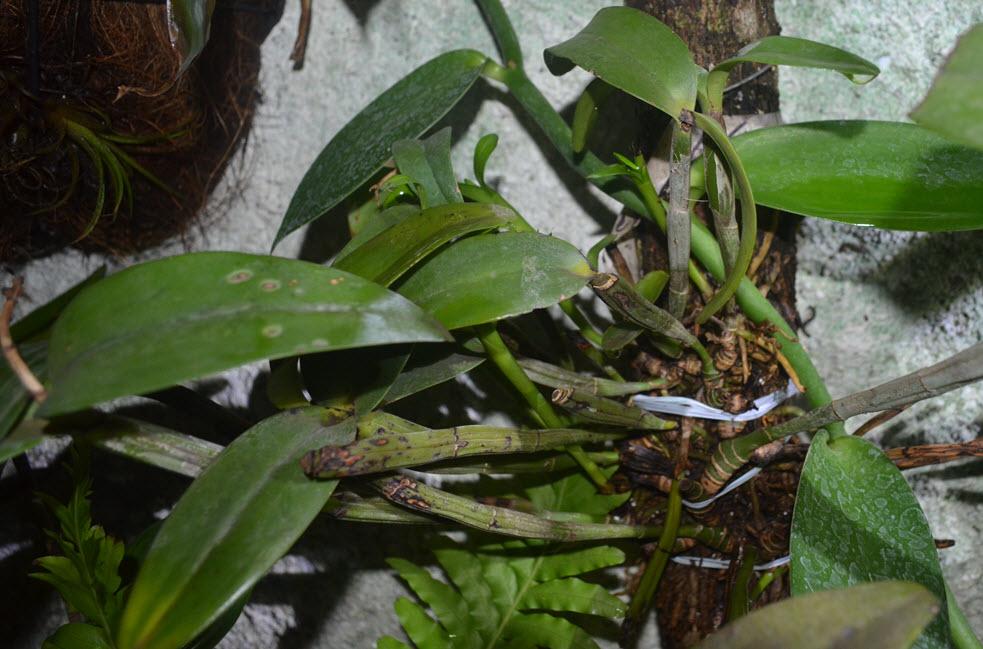 Guarianthe aurantiaca nya skott