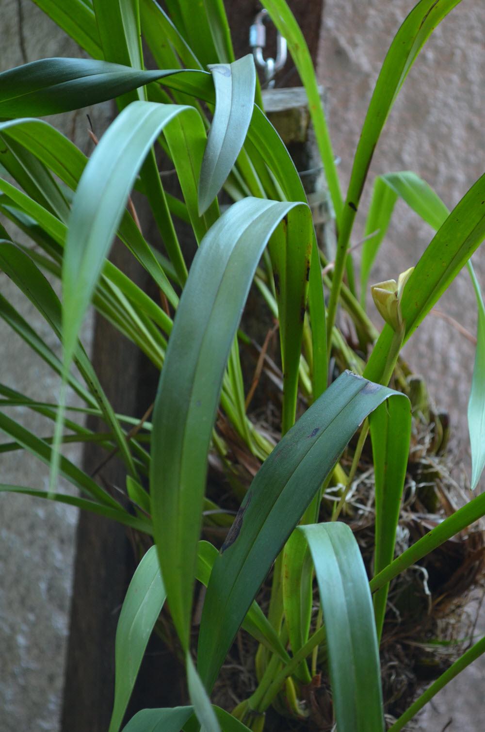 Trigonidium egertonianum plant